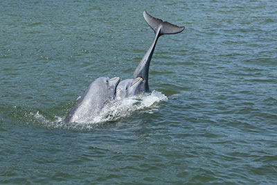 Dolphins are often seen in the Indian River Lagoon