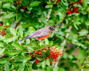 A robin takes a break from snacking on the berries from a Brazilian peppertree