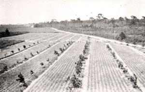 Pineapples grow between rows of citrus