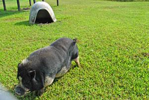 Miami, a Vietnamese potbelly pig