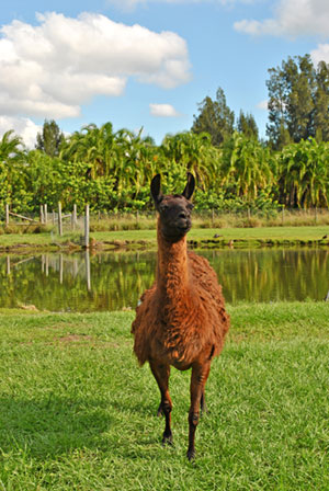 Several llamas share a sprawling pasture at Critter Haven.