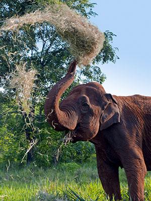 Ramba the elephant