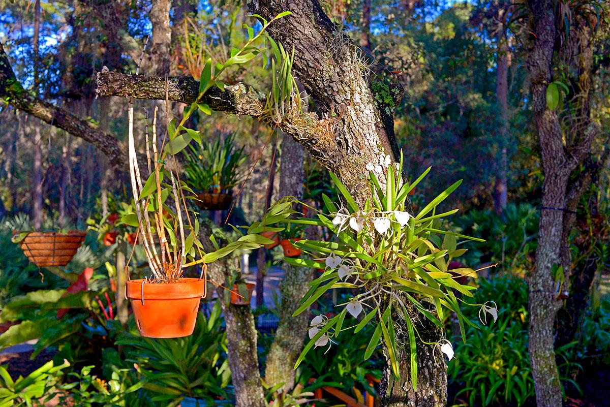 """Lady of the Night"" orchid or Brassavola Nodosa"