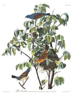 John J. Audubon captured the blue grosbeak in his Birds of America, 1827–1838