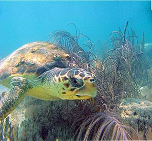 Subadult loggerhead sea turtle
