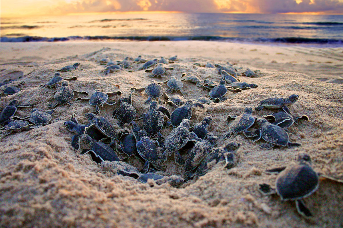 Boil of green sea turtle hatchlings