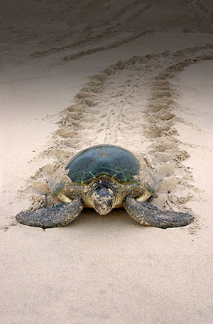 green sea turtle leaves distinctive tracks