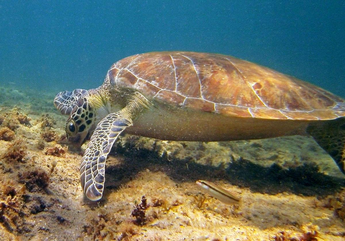 juvenile green sea turtle grazes on red algae