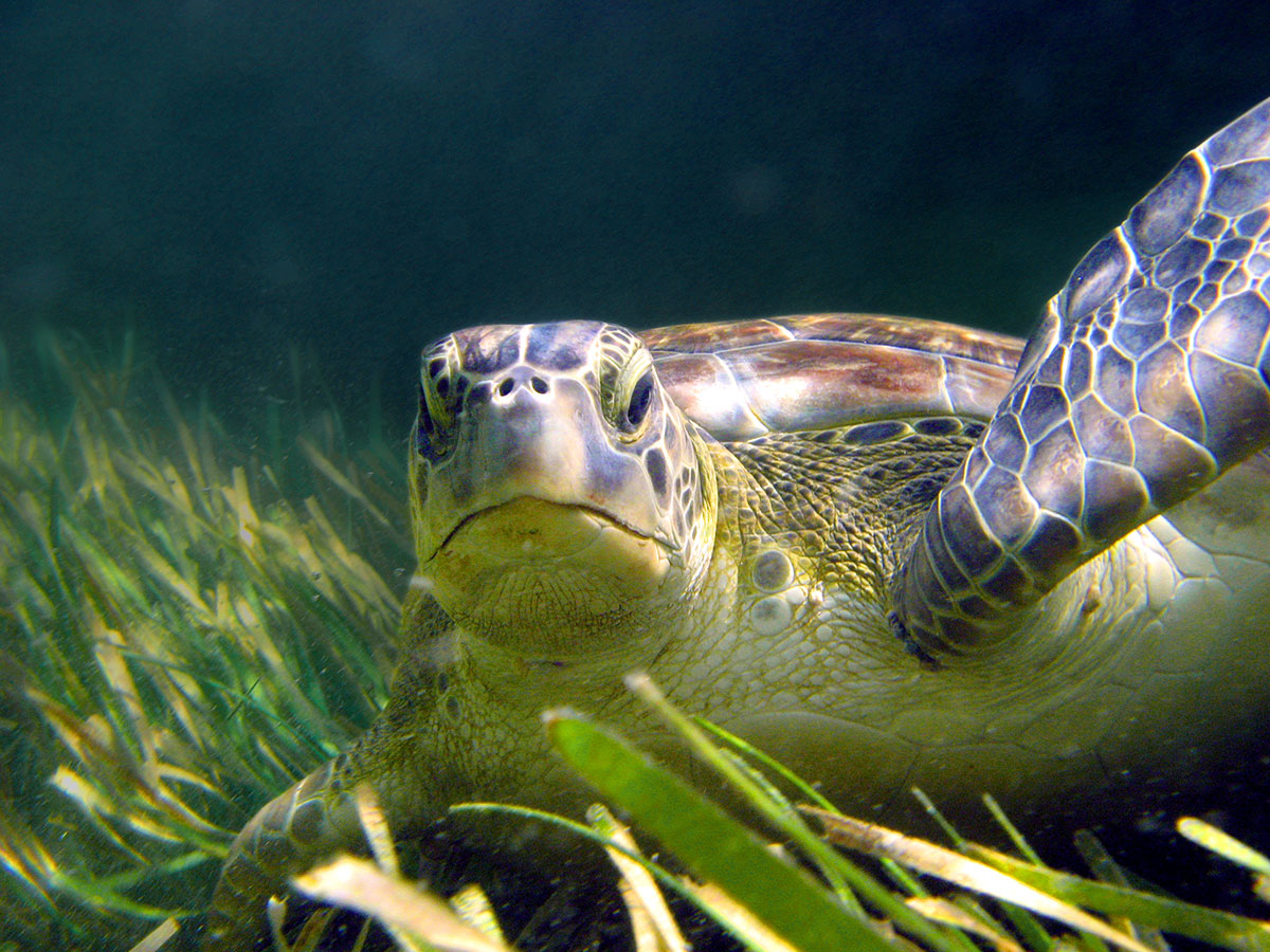 Mature green sea turtle