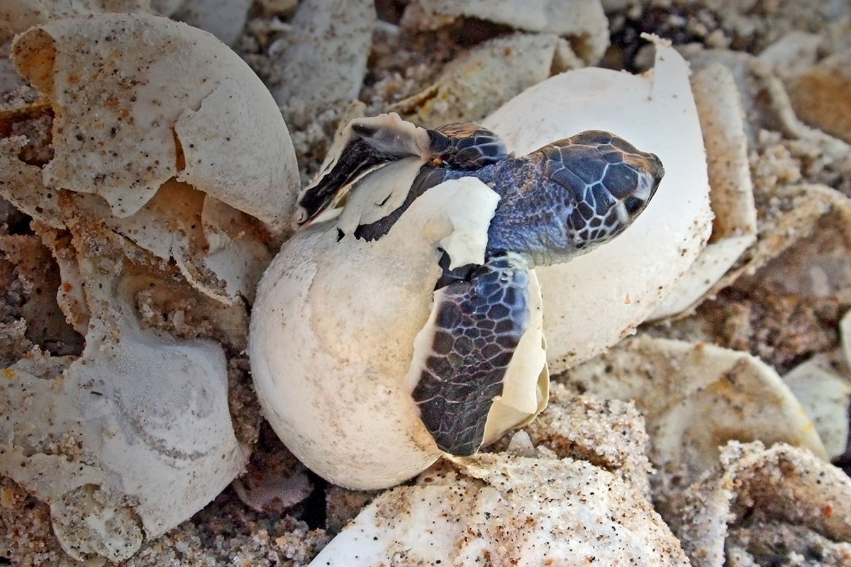 baby green sea turtle